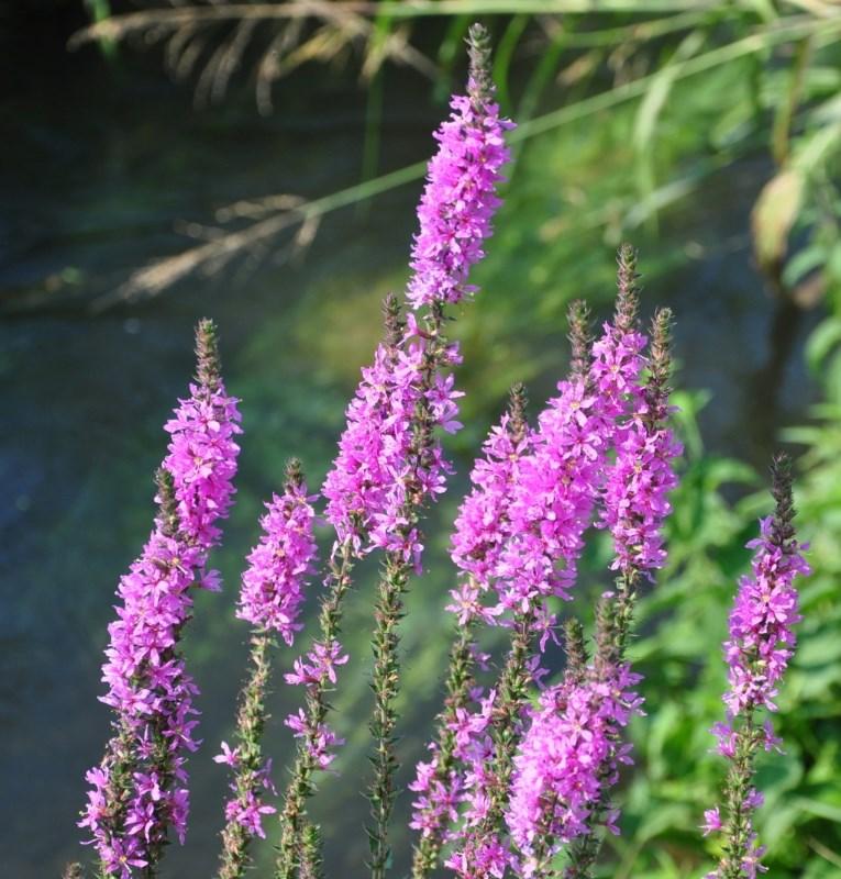 Lythrum-salicaria-L.-1-min