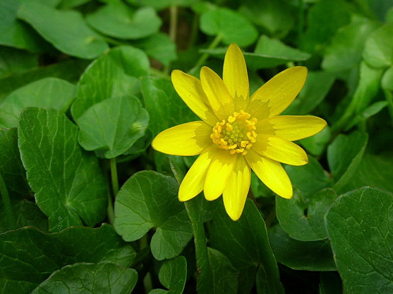 Ranunculus-ficaria-1.jpg_200631422564_Ranunculus-ficaria-1
