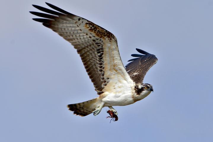 N.1-Falco-Pescatore-con-gambero-della-Louisiana-Autore-Bono-Vittorino-min